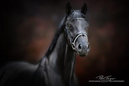 pt-arts-fotografie-tierfotografie-pferde-herbst-warmblut-schwarz