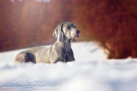 pt-arts-petra-taenzer-fotografie-tierfotografie-hunde-winter-waimaraner 03