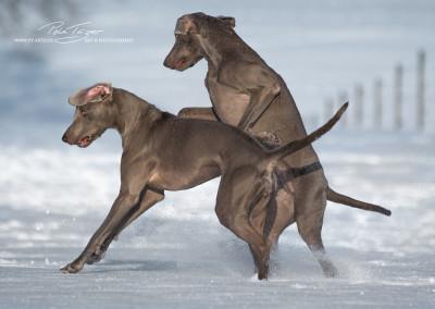 Jagdhunde, Weimaraner, Rhodesian Ridgeback, Windhunde, Retriever, PudelWeimaraner Guess und Amy
