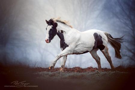 Pferd im Nebel #pferde #schecke #galopp #nebel #herbst