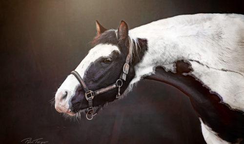 Pferdeportraits