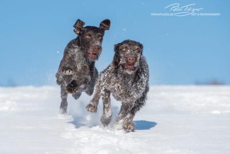 Deutsch Drahthaar im Schnee
