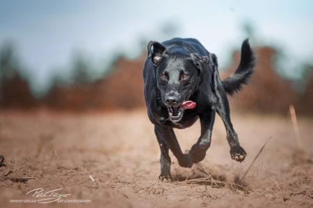 pt-arts-fotografie-tierfotografie-hunde-labrador-dalmatiner-mix-schwarz- wiese-herbst 01