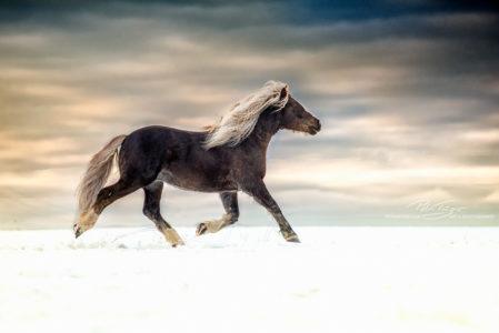#pferde #trab #schwarwälder #winter #koppel