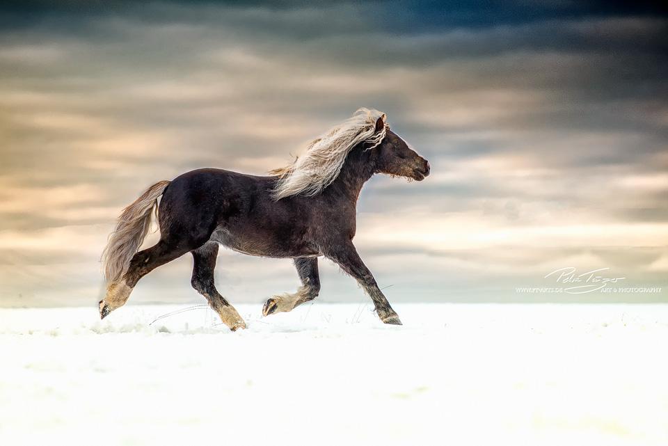 Pt Arts Fotografie Tierfotografie Pferde Schwarzwalder Fuchs Winter