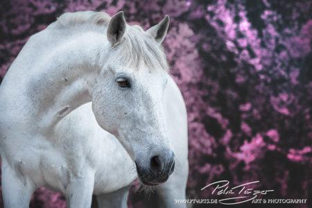 pt-arts-fotografie-tierfotografie-pferde-warmblut-schimmel-frühling-rosa-büsche 01
