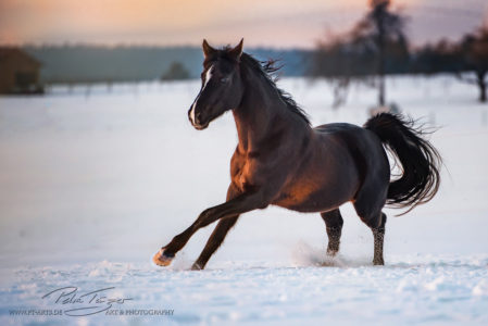 #pferde #galopp #araber #winter #koppel