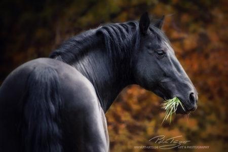 pt-arts-petra-taenzer-fotografie-pferde-hengst-pre