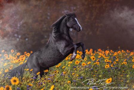 pt-arts-petra-taenzer-fotografie-pferde-steigendes-pferd-sommer 01