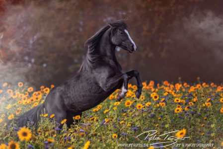 #pferde #steigendespferd #sonnenblumen #herbst