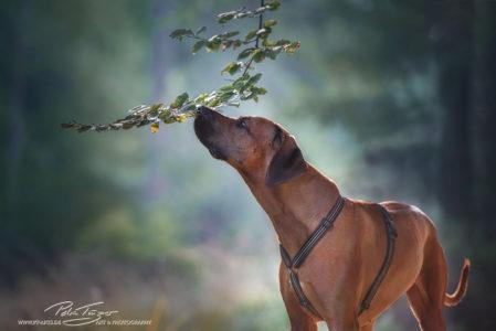 pt-arts-petra-taenzer-fotografie-tierfotografie-hunde-rhodesian-ridgeback- frühjahr