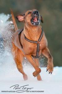 pt-arts-petra-taenzer-fotografie-tierfotografie-hunde-rhodesian-ridgeback-im Schnee 01