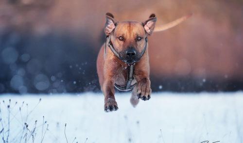 pt-arts-petra-taenzer-fotografie-tierfotografie-hunde-rhodesian-ridgeback-im Schnee 02