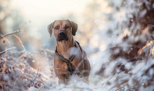 pt-arts-petra-taenzer-fotografie-tierfotografie-hunde-rhodesian-ridgeback-im Schnee 05