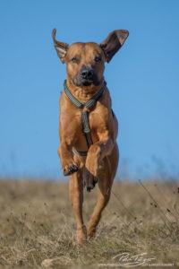pt-arts-petra-taenzer-fotografie-tierfotografie-hunde-rhodesian-ridgeback-winter