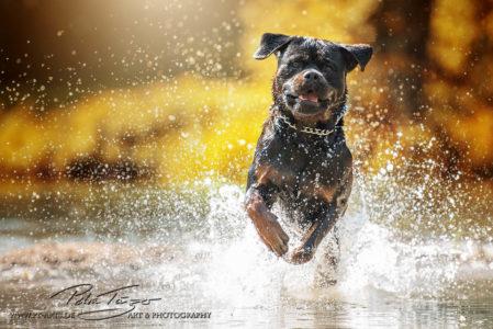 pt-arts-petra-taenzer-fotografie-tierfotografie-hunde-rottweiler-am-wasser